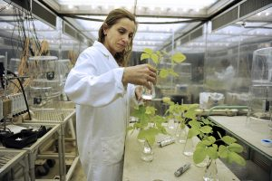 Visiting Crop Science researcher Dr. Valeria Pipola conducts research at the Phytotron. Photo by Marc Hall.