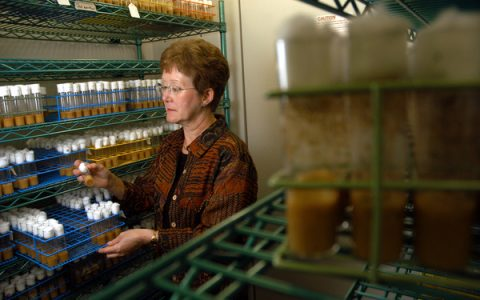 CALS' Trudy McKay looks over fly larvae in her lab cooler. PHOTO BY ROGER WINSTEAD